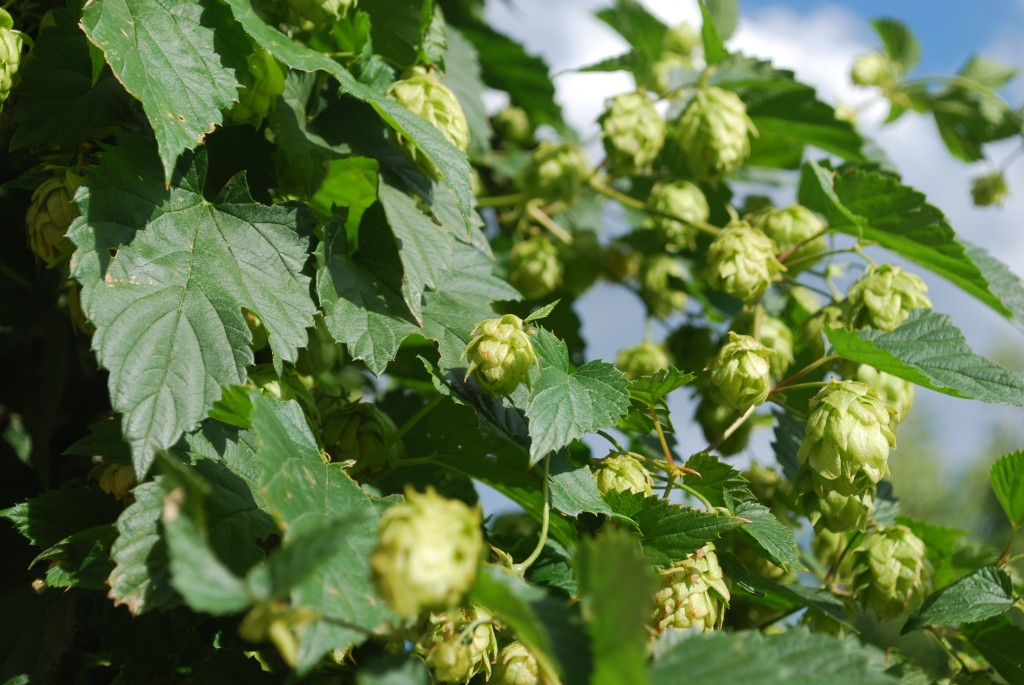 Hop Vine at Odell photo courtesy of Jon Marler